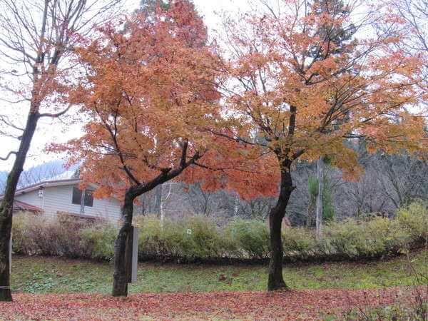 紅葉した木と落ち葉