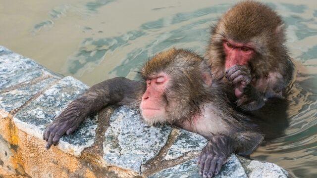 温泉に入る2匹の猿